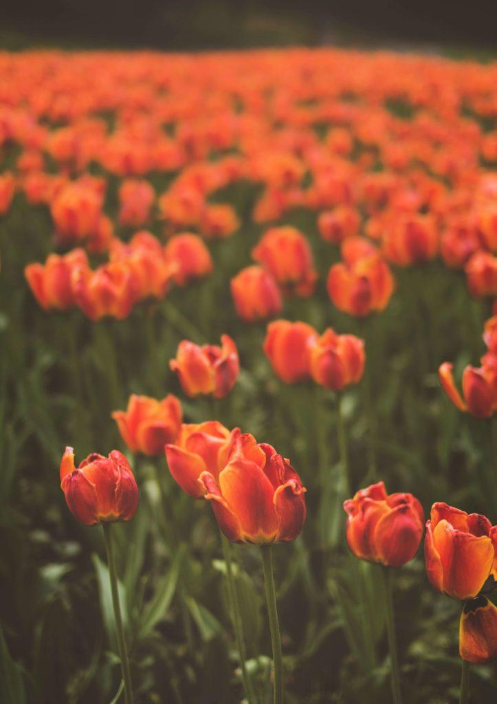Campo di tulipani rossi
